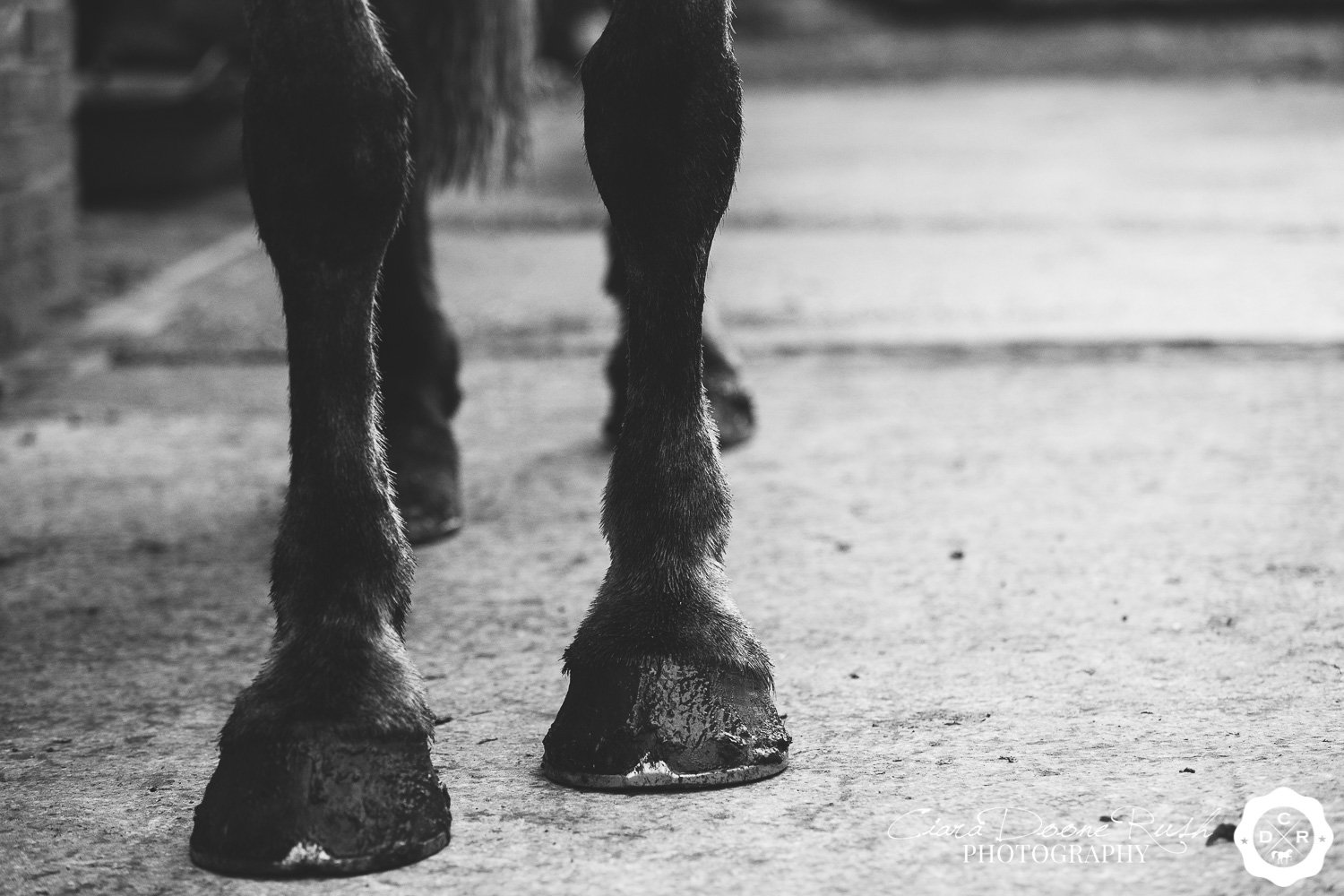 Very muddy horses hooves