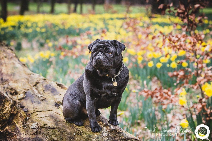Pugs in the Park