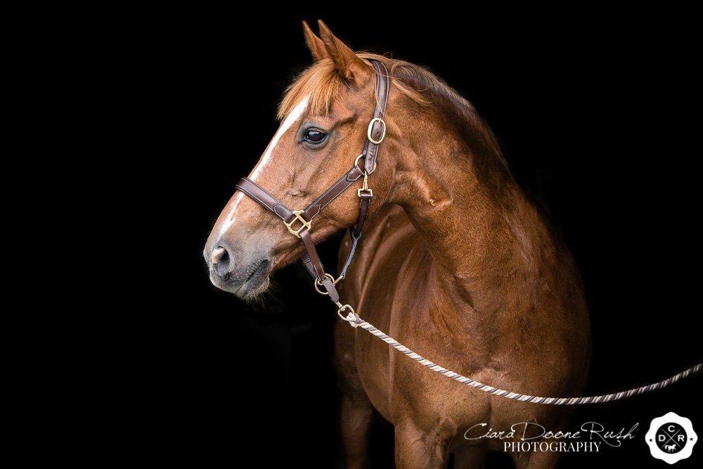 a horse portrait