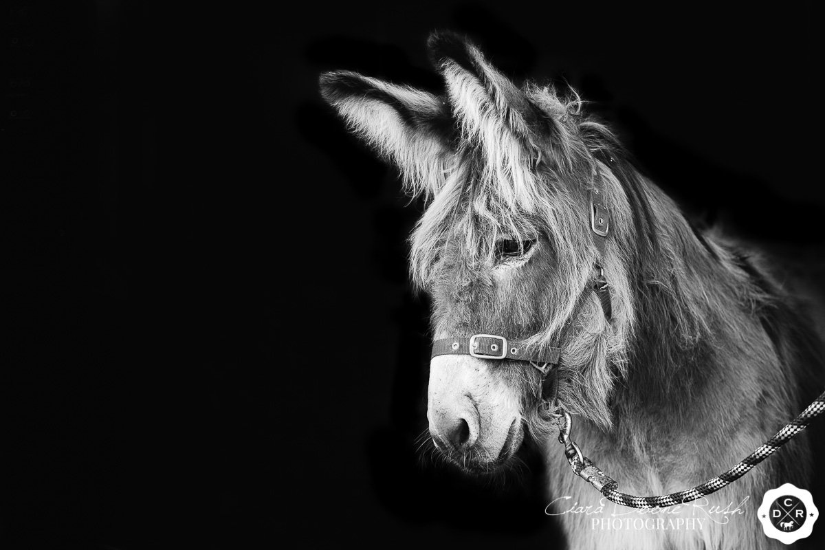a donkey photo shoot