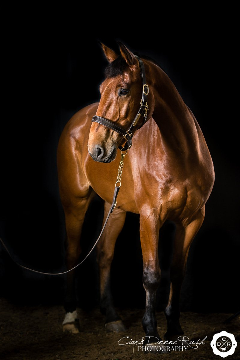 a bay horse on a studio photo shoot