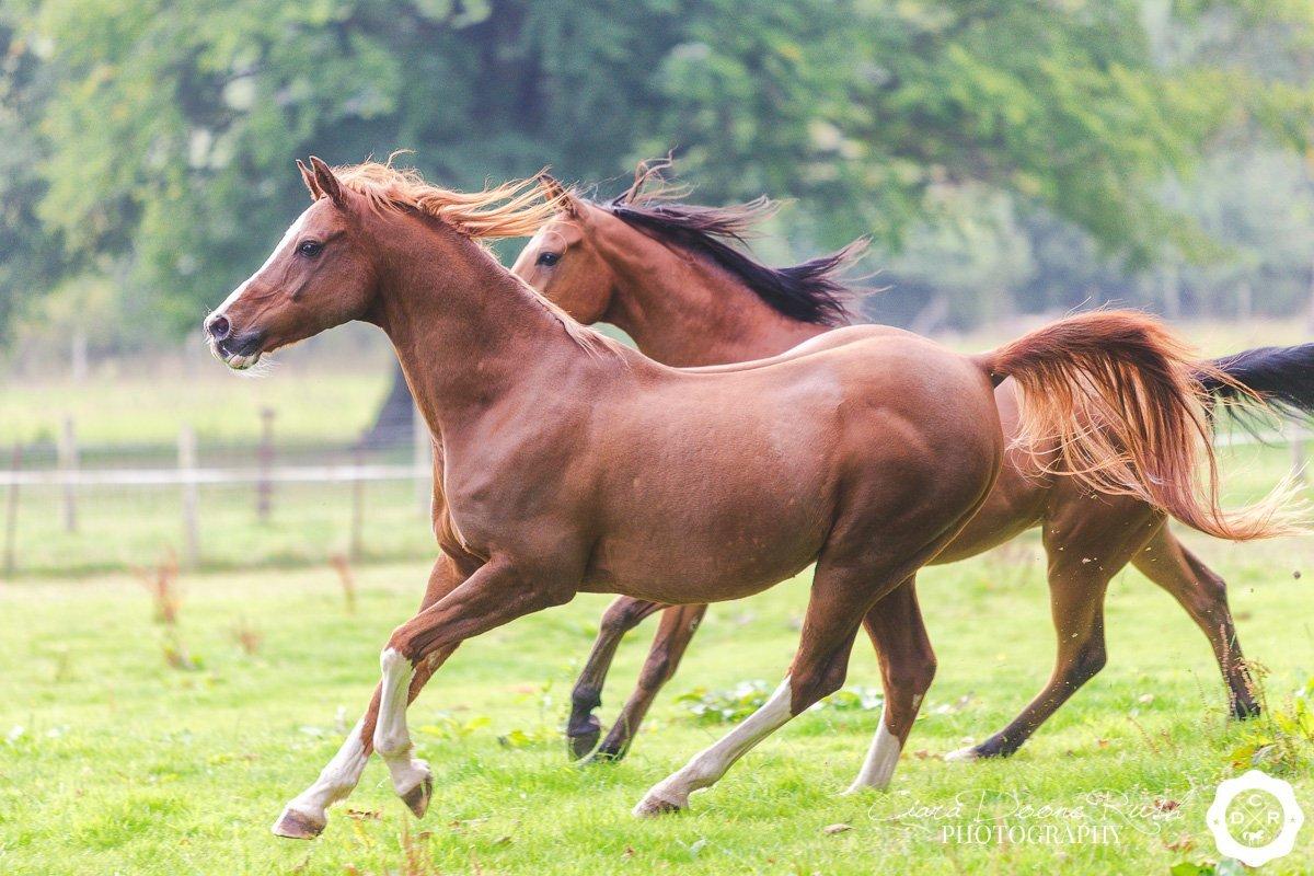 arab horses running free