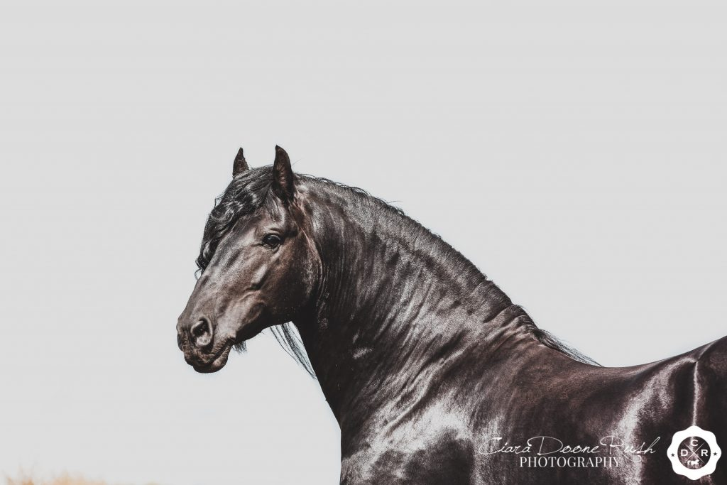 Friesian horse on white background