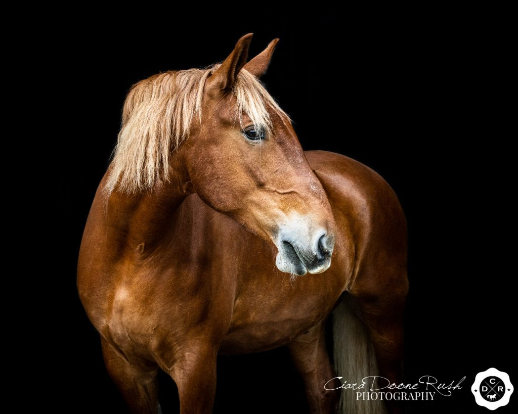 a Suffolk punch horse on a photo shoot