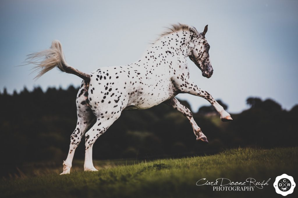 a spotty horse galloping in a field