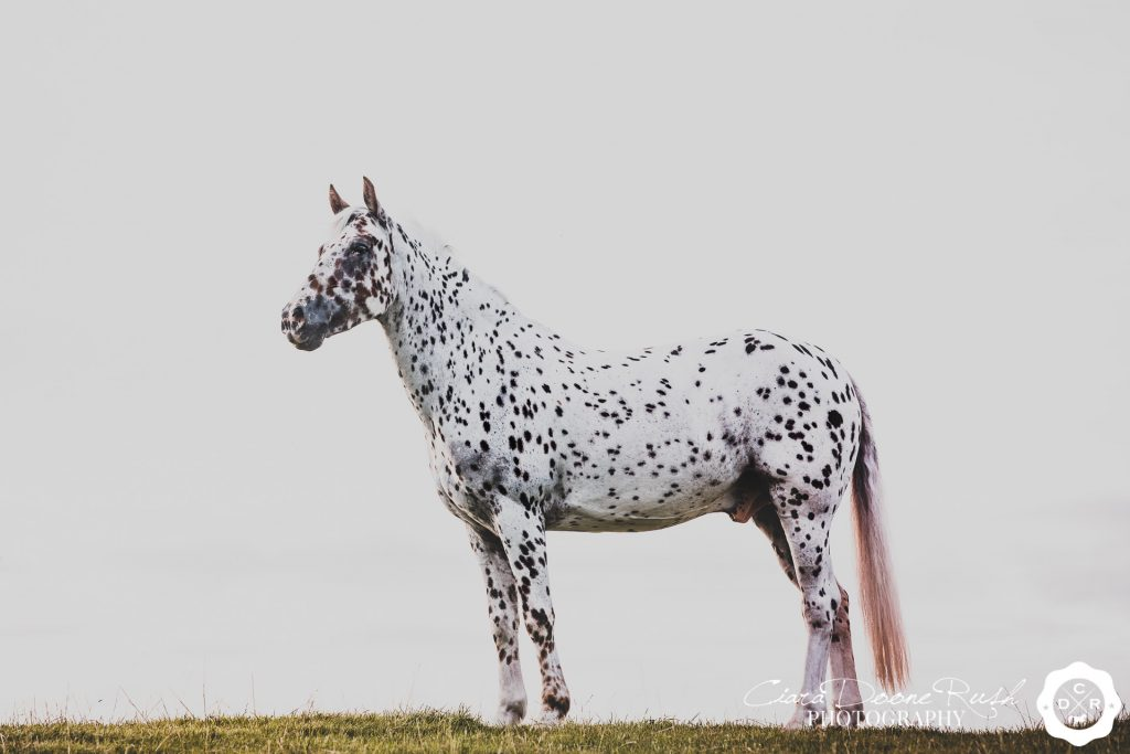 a spotty horse on a photo shoot