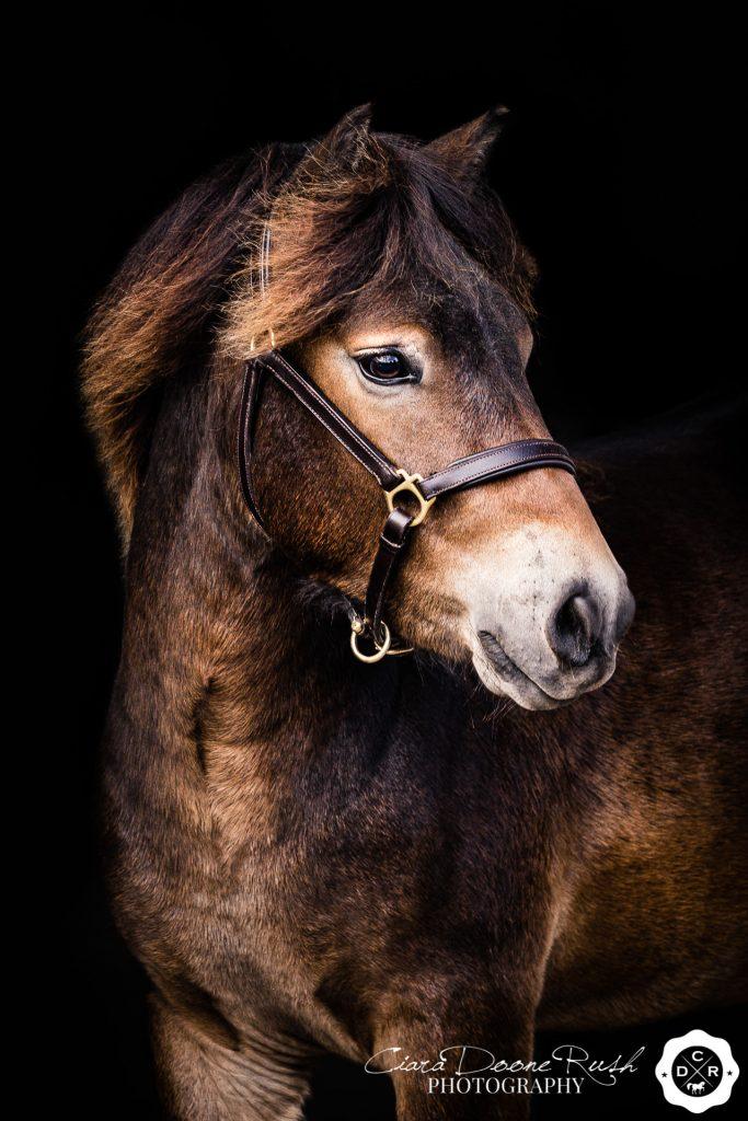 exmoor pony photo shoot