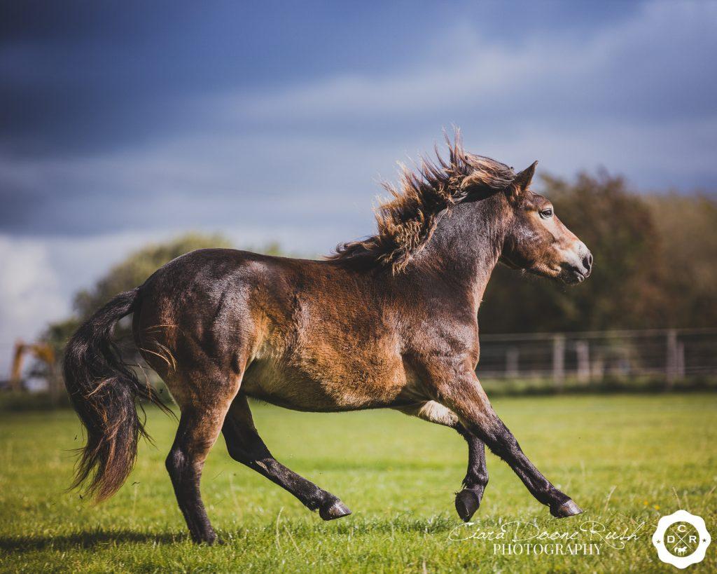 Exmoor pony on a horse photo shoot